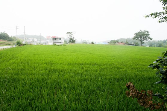 A rice field on the way to the restaurant